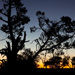 Cypress pine sunset