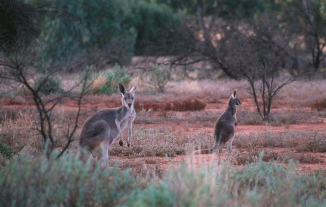 Kangaroo Natural Habitat Animals | Understandin...
