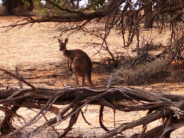 Red Kangaroo Habitat Red Kangaroo  Macropus rufus