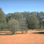 Shrubland of Mulga Acacia aneura. Photograph © T.M. Tame