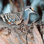A Common Bronzewing on her nest.
