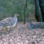 The Mallee Fowl is an endangered species that survives in parts of the Mungo region. Photo by R. Wheeler, DECCW