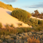 The dunes behind the Mungo lunette are advancing eastwards onto the plain. Photograph © Ian Brown