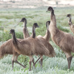 Emus are often seen on the lakebed. Photograph © Ian Brown