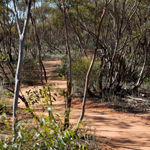 The Mallee Walk is an easy 500 metre stroll with informative signs. Photograph © Ian Brown