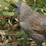 Flocks of mischievous Apostlebirds like to scrounge in camping areas, but should not be fed. Photograph © Rosie Nicolai.