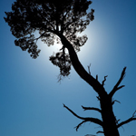 A cypress pine stands against the often cloudless skies of Mungo's semi-arid climate. Photograph © Ian Brown