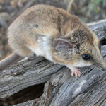 Fat-tailed Dunnart. Photograph © Ray Dayman