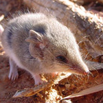 Common Dunnart. Photograph © Ray Dayman