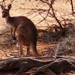 Western Grey Kangaroo Photograph 169 Ray Dayman
